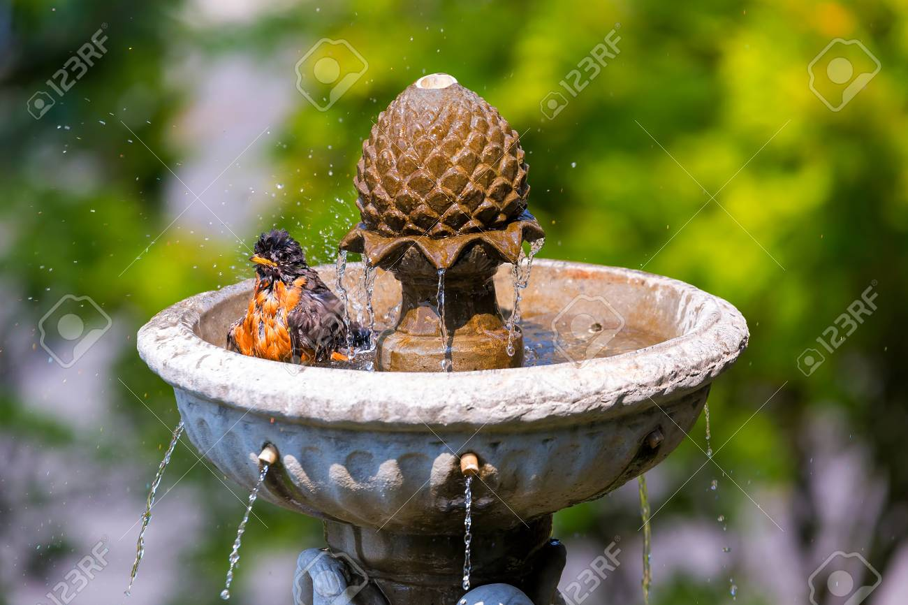 American Robin male bird bathing in garden water fountain on a sunny day